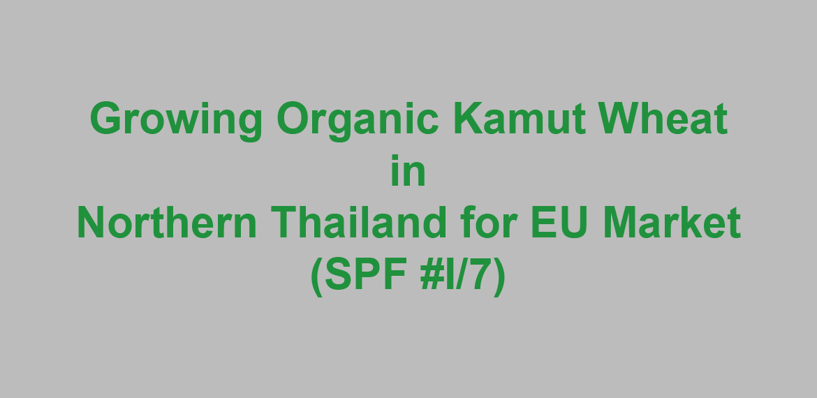 Growing Organic Kamut Wheat in Northern Thailand for EU Market